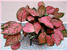 Aglaonema 'Valentine' (Thai Aglaonema) with fabulous pink+green leaf variegation, after 13 months growth at our courtyard