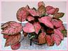 Aglaonema cv. 'Valentine' (Thai Aglaonema, Chinese Evergreen)