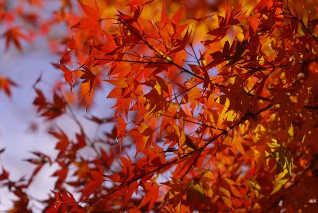秋、燃える。