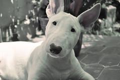 [フリー画像] 動物, 哺乳類, イヌ科, 犬・イヌ, ブルテリア, 201101170700