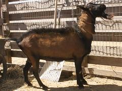 DYNAMIC HIGHLANDER'S MAC LEOD - B001426066 (lfk_psa) Tags: mac dynamic goat american dairy buck genetics highlanders leod oberhasli adga goat:registry=american goat:breed=oberhasli goat:sex=buck b001426066 goat:regnumber=b001426066 goat:regname=dynamichighlandersmacleod