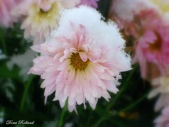 Belle Princesse (Domi Rolland ) Tags: france nature fleur canon europe neige millau aveyron hivers midipyrénées parcdelavictoire