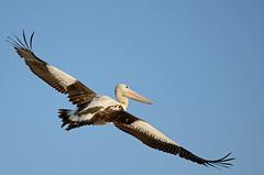 Flight (Bradsview) Tags: bird flight waterbird pelican