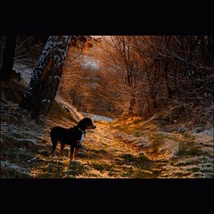 Waiting (dellafels) Tags: winter light sunset dog puppy till entlebucher dellafelspic