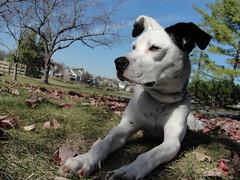 Stop & stare (LisaKurr) Tags: park white boxer spotted tori bully dalmatian