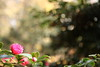 上向きの開花