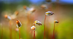 ixii  or  small flamingos (Aleksandr Matveev) Tags: autumn light macro nature grass landscape flora dof bokeh flamingo north flamingos explore contax cz fp frontpage 3514 distagon saariysqualitypictures czcontaxdistagon3514