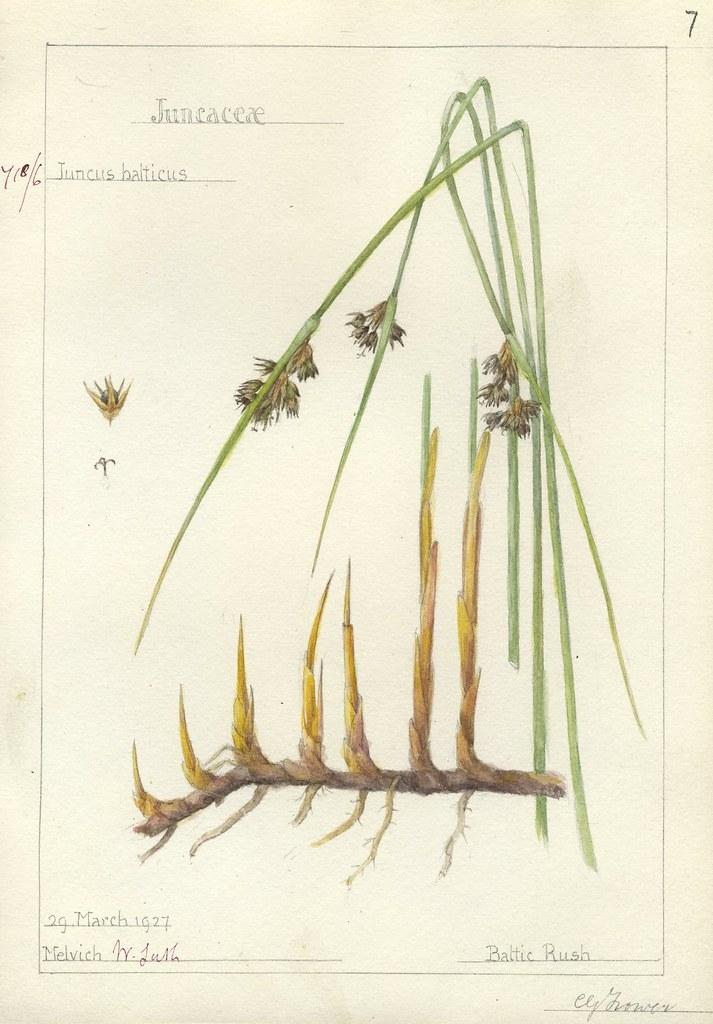 Juncus balticus 1927