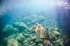 Cruiser (Micah Camara) Tags: ocean sea beach hawaii underwater turtle kauai housing honu seaturtle