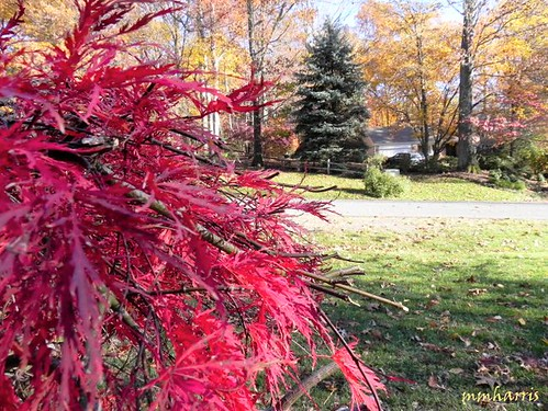 dwarf japanese maple tree pictures. Dwarf Japanese Maple Tree Fall
