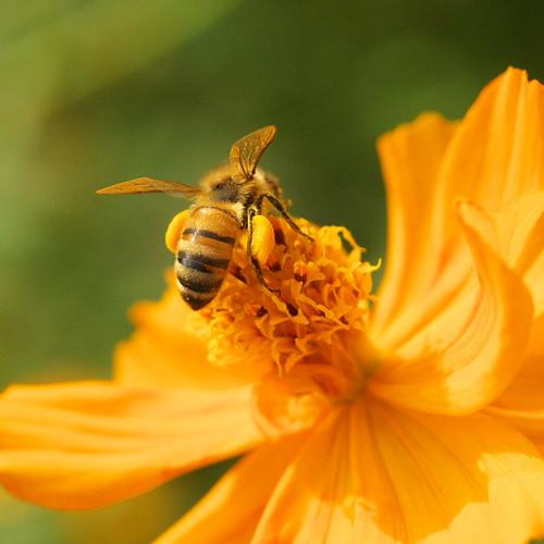 帶著兩大丸花粉的小蜜蜂