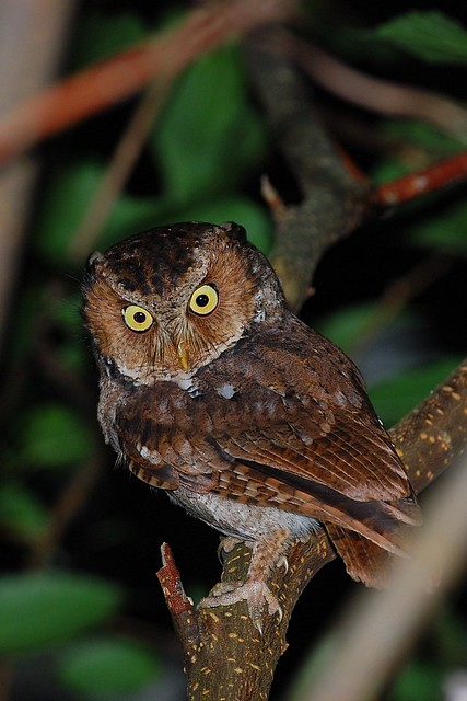 黃嘴角鴞 Mountain Scops Owl-成鳥@花蓮