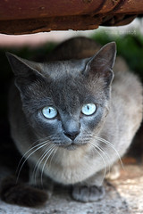 eyes like ice (thaisbristot) Tags: blue portrait animal cat eyes kitten meow domesticated