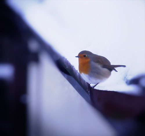 robin with snow
