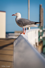 The balancing act (Bluemonkey08) Tags: birds newcastle gulls australia nsw d90 newcastlebaths samyang ericlam nikond90 bluemonkey08 rokinon85mmf14