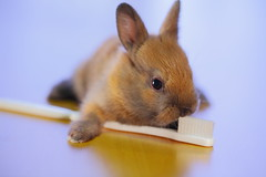 Baby Kiwi Brushing teeth (Spice  Trying to Catch Up!) Tags: pet baby rabbit bunny eye art animal japan canon nose photography eos kitten asia flickr colours image bokeh picture vivid ears blogger  5d kit paws toothbrush vox  flur facebook friendster multiply      twitter netherlanddwarfrabbit canoneos5dmarkii twitpic natureselegantshots  mixbreedrabbit panoramafotogrfico miniusagi