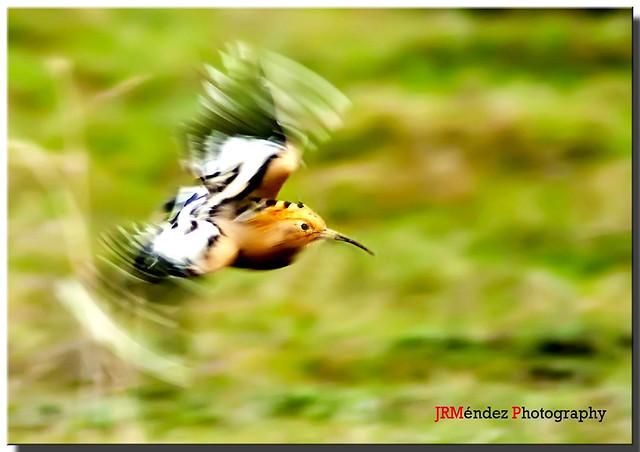 Abubilla en vuelo