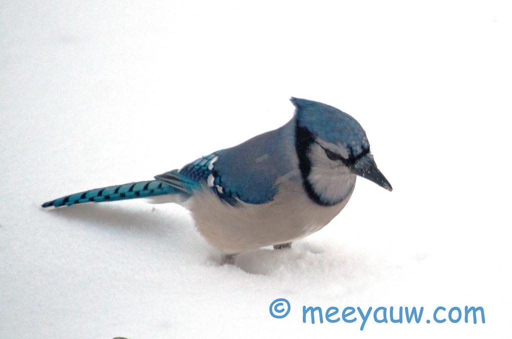 Blue Jay   001.jpg