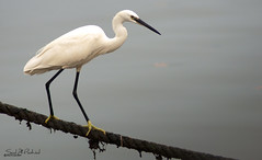 Great White Egret (SAUD ALRSHIAD) Tags: sea bird water photography nikon arabia jeddah ksa saud saudia d90 ماء قطرة kingdoom flickraward lens70300 nikonflickraward