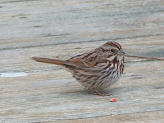 Song Sparrow (jakesangel) Tags: winter bird song tennessee sparrow backyardshot
