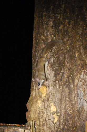 Night glider: southern flying squirrel
