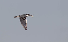 Belted Kingfisher (Ceryle alcyon) 14 Feb-10-45193.jpg (tim stenton www.TimtheWhale.co