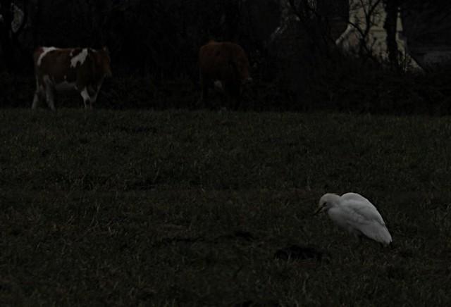 cattle egret1