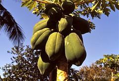 Afgoi, Somalia (aikassim) Tags: farm papaya agriculture somalia hornofafrica eastafrica  afgooye  afgoi shebeelahahoose