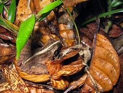 Rainforest frog, Montagne d'Ambre (Niall Corbet) Tags: forest nationalpark rainforest frog jungle madagascar anura ambermountain montagnedambre