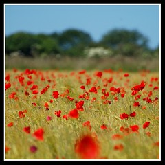 Pick a poppy..... (Levels Nature) Tags: uk flowers summer england flower nature field farm somerset poppy poppies somerton poppyfield saariysqualitypictures