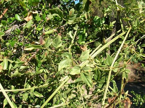 Hábito trepador de <i>Eccremocarpus scaber</i> trepando un arbusto, se aprecian las formas de sus hojas y sus zarcillos. Ejemplar creciendo en la Reserva Nacional Río Cipreses, Región de O'Higgins.