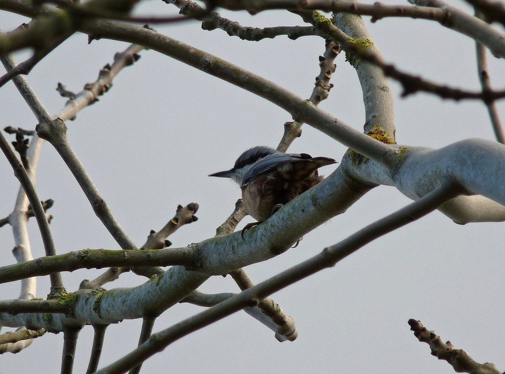 23850 - Nuthatch, Rhossili Downs