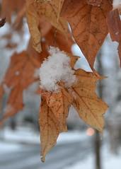 DSC_0269 (pjpink) Tags: winter orange snow tree leaves virginia dof january richmond northside rva snowcovered 2011 ginterpark rvasnow