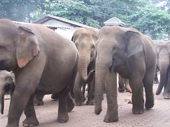 Elephant Walk (kimlenoregood) Tags: from elephant for cool bath day walk going orphanage come keep they elephants twice member their youngest the