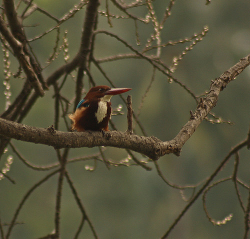 White throated Kingfisher (Sorry for the noise)