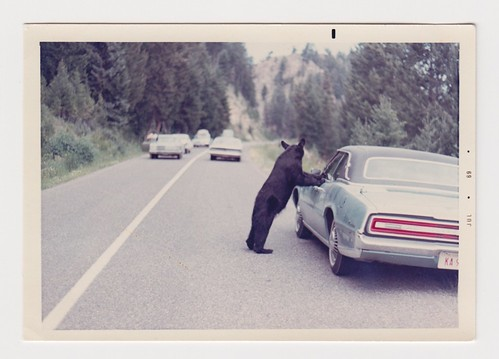 Black bear on car