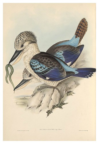 014-Martin pescador-The Birds of Australia  1848-John Gould- National Library of Australia Digital Collections