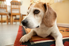 IMG_4732 (phunter ) Tags: dog beagle