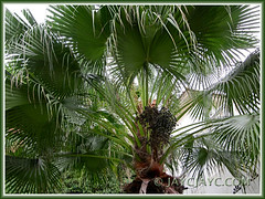 Livistona chinensis (Chinese Fan Palm, Fountain Palm): focus on fruits/seeds at the crown