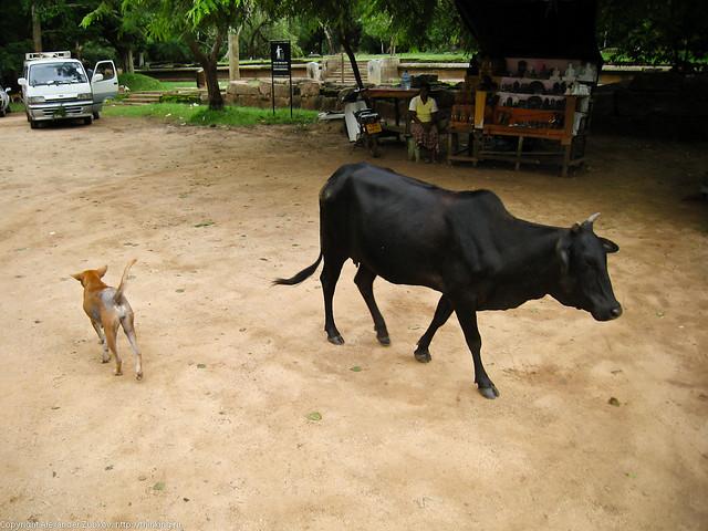 Собака и корова