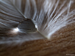 Drop on the feather (Jussisyva) Tags: wood macro water feather drop makro puu vesi jps pisara guill sulka hoyhen