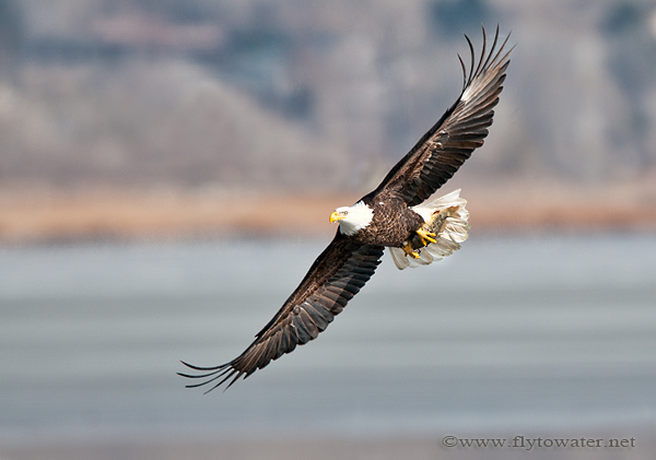 Bald Eagle with Carp Dinner