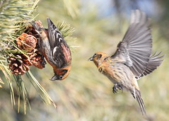 White-winged Crossbills (Tombo Pixels) Tags: canon newjersey nj seven pinecone presidents whitewinged sevenpresidentspark whitewingedcrossbill crossbills twb1 secretlifeofbirds slbfeeding slbflying 7presidents0051
