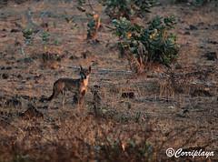 Lobo Árabe Arabian Wolf Canis lupus arabs (Corriplaya) Tags: mammals mamiferos omán arabianwolf canislupusarabs corriplaya loboárabe