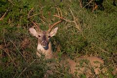 Buck Stop (gseloff) Tags: whitetaileddeer buck wildlife horsepenbayou pasadena texas kayakphotography gseloff