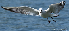 Free as a bird (Relver Photography) Tags: 2016 ete eos7dmarkiii mouette vol