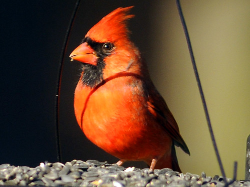 brilliant cardinal