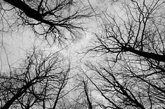 Vers le ciel, pisode 1 (Marc Lagneau) Tags: trees winter sky bw france forest nikon hiver nb ciel arbres plaisir fort contrejour yvelines d300s marclagneau saintapolline