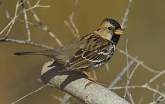 Harris's Sparrow - Lake Lewisville Environmental Learning Area --Lewisville, Texas (davidcreebirder) Tags: searchthebest harrisssparrow specanimal lakelewisvilletexas lakelewisvilleenvironmentallearningarea
