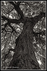 The Mighty Oak (Kevin B Photo) Tags: autumn trees sky blackandwhite bw usa cloud tree fall nature beautiful beauty up vertical closeup clouds forest photography one big oak day afternoon exterior unitedstates graphic artistic florida cloudy native south scenic large dramatic dry southern bark daytime fl tall serenitynow kevinbarry